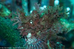 BD-161024-Pura-2507-Rhinopias-frondosa-(Günther.-1892)-[Weedy-scorpionfish].jpg